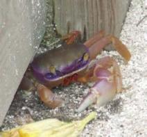 crabright